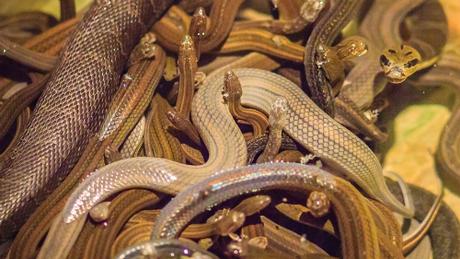 Mặc dù có chứng nhận thú y, 20 con rắn này vẫn bị tịch thu do không có một số giấy phép phù hợp. Ảnh: iStock.