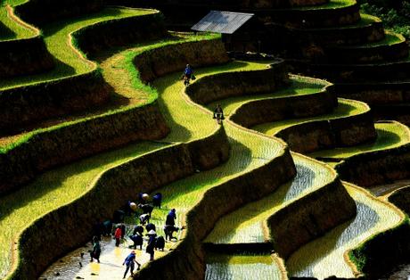 Ruộng bậc thang Hoàng Su Phì là điểm đến hấp dẫn bậc nhất khu vực Tây Bắc mùa lúa chín. Ảnh: Việt Bắc.