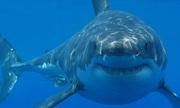 Australia giết 4 con cá mập sau khi khách tắm biển bị thương