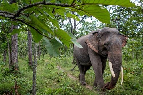 Tỉnh Đắk Lắk từng được mệnh danh là vương quốc voi, với hàng đàn voi lớn lang thang khắp rừng. Ảnh:AFP.