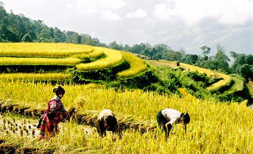 Mùa lúa chín vàng thu hút nhiều du khách tới ngắm cảnh, chụp ảnh ở Hoàng Su Phì.Ảnh: Xuân Hỷ.