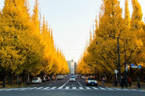 Đại lộ Icho Namiki trong công viên trung tâm thủ đô Tokyo. Ảnh: Velvetground.
