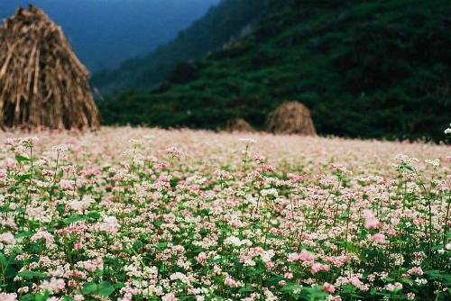Thu sang, khi lúa đã trĩu bông nặng đầy bồ, cốm đã xanh thơm dưới tay chày, cũng là lúc hoa tam giác mạch bung nở gọi mời du khách. So với các nơi khác, tam giác mạch trồng ở Fansipan, cây cao lớn và bông hoa to hơn.Du khách đến tuần lễ hội, có thể bước dạo giữa biển hoa, dừng chân nghỉ bên chòi lá trên cánh đồng hoa, hít căng tràn lồng ngực không khí trong lành của mùa thu nơi núi rừng. Đây cũng là dịp bạn chụp những tấm ảnh giữa biển hoa chia sẻ với bạn bè và giữ làm kỷ niệm.