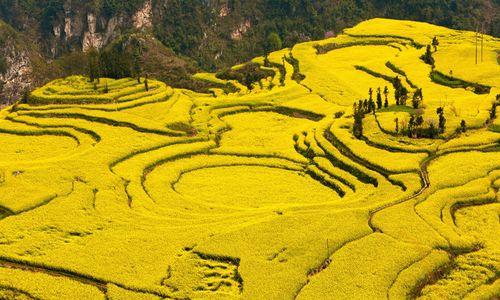 Mùa lúa chín nhuộm vàng ruộng bậc thang Trung Quốc