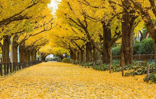 Meiji Jingu Gaien với những tán lá vàng rực rỡ.