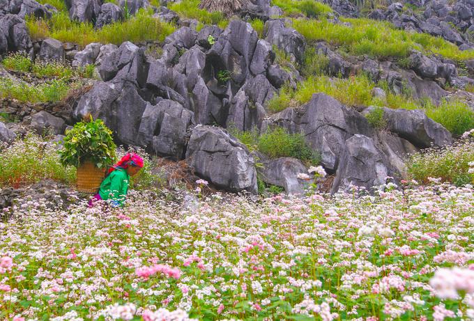 Hoa tam giác mạch đang đua nở trên cao nguyên đá