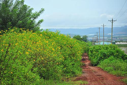Những con đường đất đỏ có hoa nở vàng hai bên níu chân du khách khắp nơi. Ảnh: Ngô Anh Tuấn.