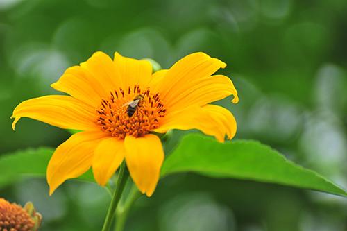 Hoa dã quỳ có thể sống ở nơi khô cằn, bắt đầu nở rộ vào tháng 11. Ảnh: Ngô Anh Tuấn.