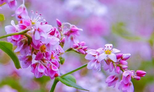 Tam giác mạch - loài hoa khiến nhiều du khách bất ngờ