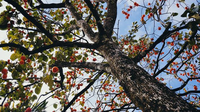 Vườn hồng trĩu quả giữa trời thu Đà Lạt