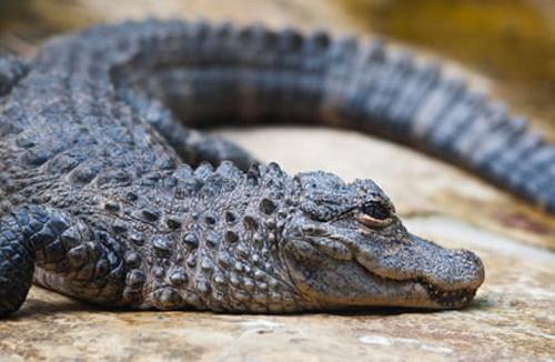 Nhóm khách Trung Quốc cố tình ném đá vào con vật để xem đó là đồ thật hay mô hình. Nếu là cá sấu thật, nó sẽ di chuyển sau cú ném rất đau đó. Ảnh minh họa: