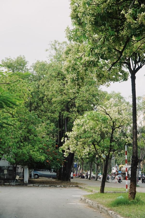 Hàng hoa sữa cổ thụ nở trắng một góc trời Sài Gòn