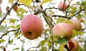 Vườn táo trồng vào ngày cưới 40 năm trước của lão nông Nhật