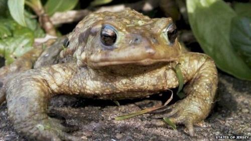Tiến sĩ John Wilkinson cho hay, cóc Jersey thường có kích thước lớn hơn, kết đôi sớm hơn và có môi trường sống khác những loài cóc nói chung của Channel. Ảnh:State of Jersey.