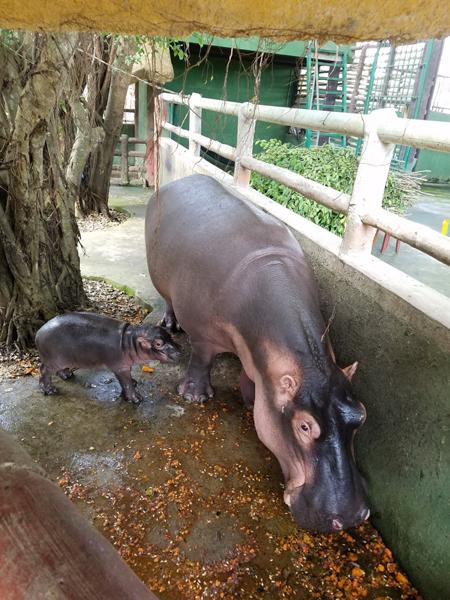 Hà mã (Hippopotamus amphibius) hiện là loài động vật hoang dã nằm trong sách đỏ thế giới có nguy cơ tuyệt chủng cao.
