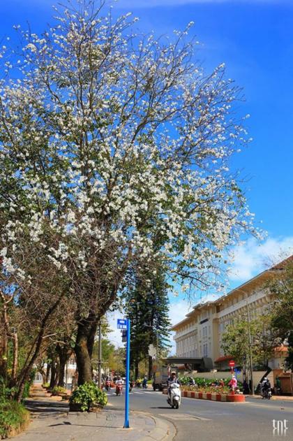 Hoa ban trắng nở rộ trên các đường phố Đà Lạt . Ảnh: Trương Ngọc Thuỵ, Phạm Anh Dũng.