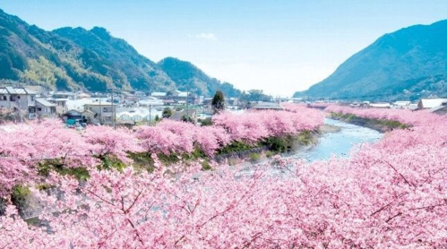 Hoa đào ở Kawazu nở rộ vào đầu tháng 2. Ảnh: Pinterest.