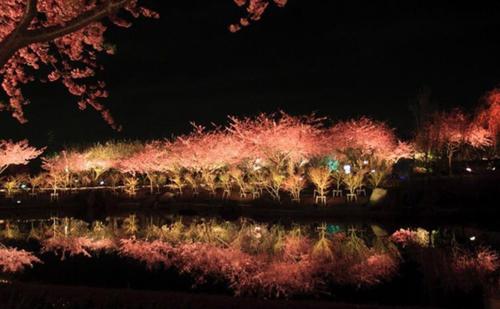 Lễ hội hoa anh đào Kawazu-zakura vào ban đêm. Ảnh: Spoon & Tamago.