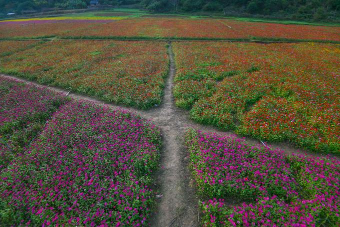 Hoa được trồng sát đến chân núi. Khoảng hở bên trong những ruộng hoa cho phép khách tham quan đi vào để tìm kiếm những góc chụp ưng ý.