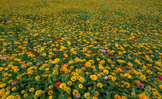 Các giống hoa cúc được trồng xen kẽ với nhau tạo nên những thảm hoa nhiều màu sắc trong thung lũng.