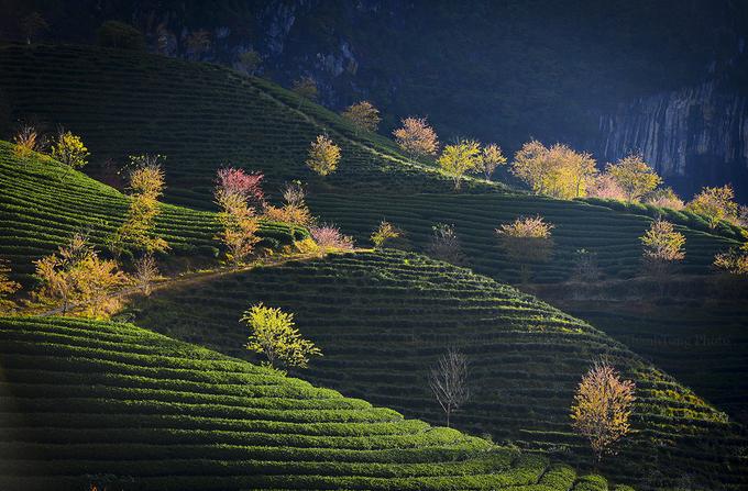 Nhờ những cây mai anh đào được trồng xen kẽ trên lối đi mà đồi chè ở Sa Pa có sự khác biệt so với đồi chè ở Mộc Châu hay Đà Lạt.