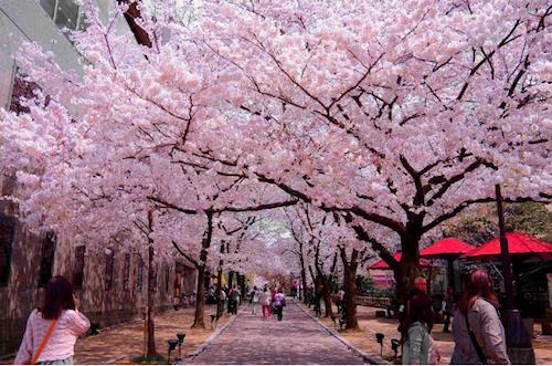 Màu sắc hồng phủ khắp công viên Shinjuku Gyoen (ảnh: Tms asia)