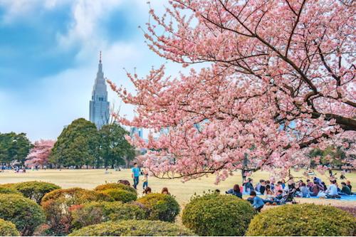 Tour du lịch Nhật Bản ngắm hoa anh đào. Ảnh: Fastjapan.