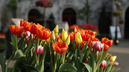 Khu vườn một triệu bông tulip đón Tết trên đỉnh Bà Nà - ảnh 1