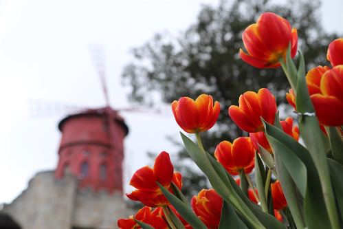 Khu vườn một triệu bông tulip đón Tết trên đỉnh Bà Nà - ảnh 2