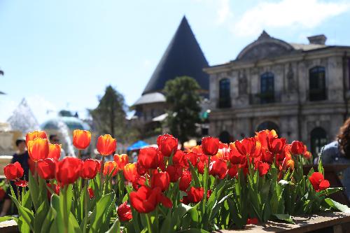 Khu vườn một triệu bông tulip đón Tết trên đỉnh Bà Nà - ảnh 3
