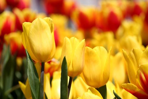 Khu vườn một triệu bông tulip đón Tết trên đỉnh Bà Nà - ảnh 4