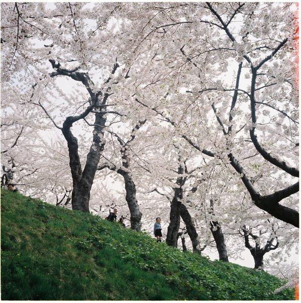 Lịch ngắm hoa anh đào trên khắp Nhật Bản năm 2019