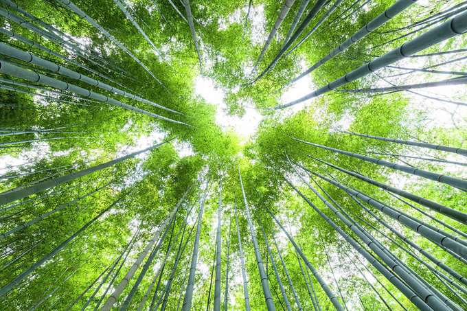 'Cảm giác lạ' thu hút hàng chục triệu khách đến rừng tre ở Nhật mỗi năm