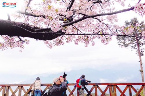 A Lý Sơn - một trong những nơi thu hút nhiều khách du lịch Đài Loan nhờ mùa hoa anh đào nở rộ. Ảnh: Shutterstock.