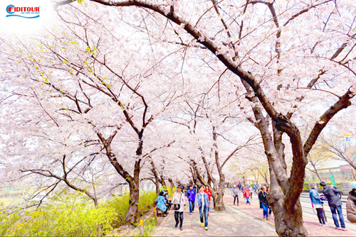 Không gian lãng mạn của lễ hội hoa mùa xuân. Ảnh: Shutterstock.