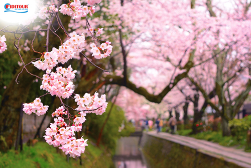 Du khách sẽ bị mê hoặc bởi màu hồng của những cánh hoa anh đào dọc theo con kênh ở đường Triết học. Ảnh: Shutterstock.
