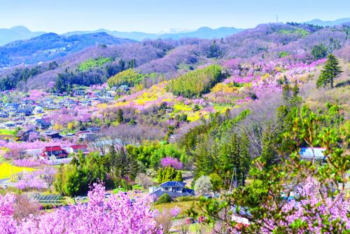 Công viên Hanamiyama: hoa anh đào trải dài khắp công viên