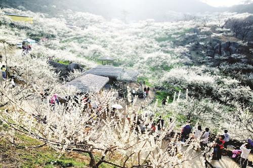 Du lịch tết ngắm hoa mơ nở ở Hàn Quốc. Ảnh: Pinterest.
