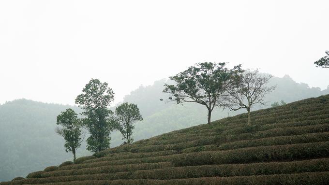 Ốc đảo chè có một không hai ở vùng biên giới Việt Nam