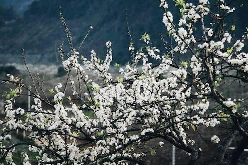 Màu hoa mơ trắng muốt nở rộ trên vùng đất Mộc Châu (ảnh: Vnexpress.net)