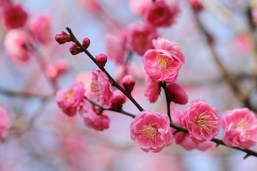 Mùa xuân hoa mơ nở rộng khắp trên cả nước Nhật Bản (ảnh: Only Native Janpan).