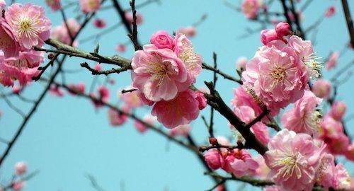 Hoa mơ ở Trung Quốc nở rộ đầu xuân (ảnh: reference.com.