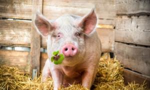 Thịt lợn - món ăn đem lại may mắn cho năm mới ở nhiều nước