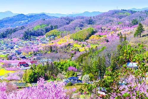 Công viên Hanamiyama: hoa anh đào trải dài khắp công viên.