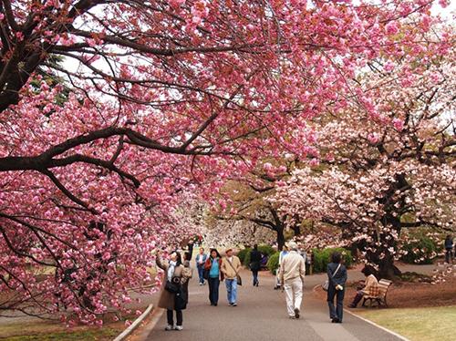 Tận hưởng không khí xuân sang khi ngắm hoa mơ hồng rực ở Nhật. Ảnh: Ordershiphangnhat.