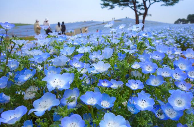 4 triệu bông hoa nở khiến công viên ở Nhật như thiên đường