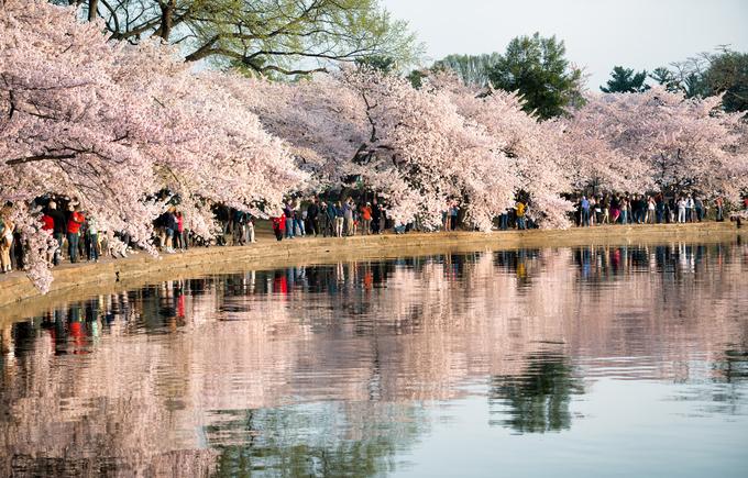 Ba thành phố có mùa hoa anh đào nổi tiếng nhất thế giới