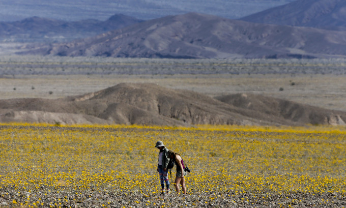 Thung lũng khô cằn cứ 10 năm lại biến thành biển hoa ở Mỹ