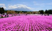 Tiết kiệm 12 triệu đồng với tour bay thẳng Nhật Bản ngắm hoa