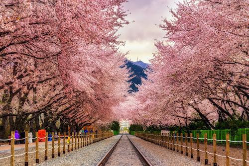 Trải nghiệm ngắm hoa anh đào khi du lịch đến Hàn Quốc. Ảnh: Tugo.